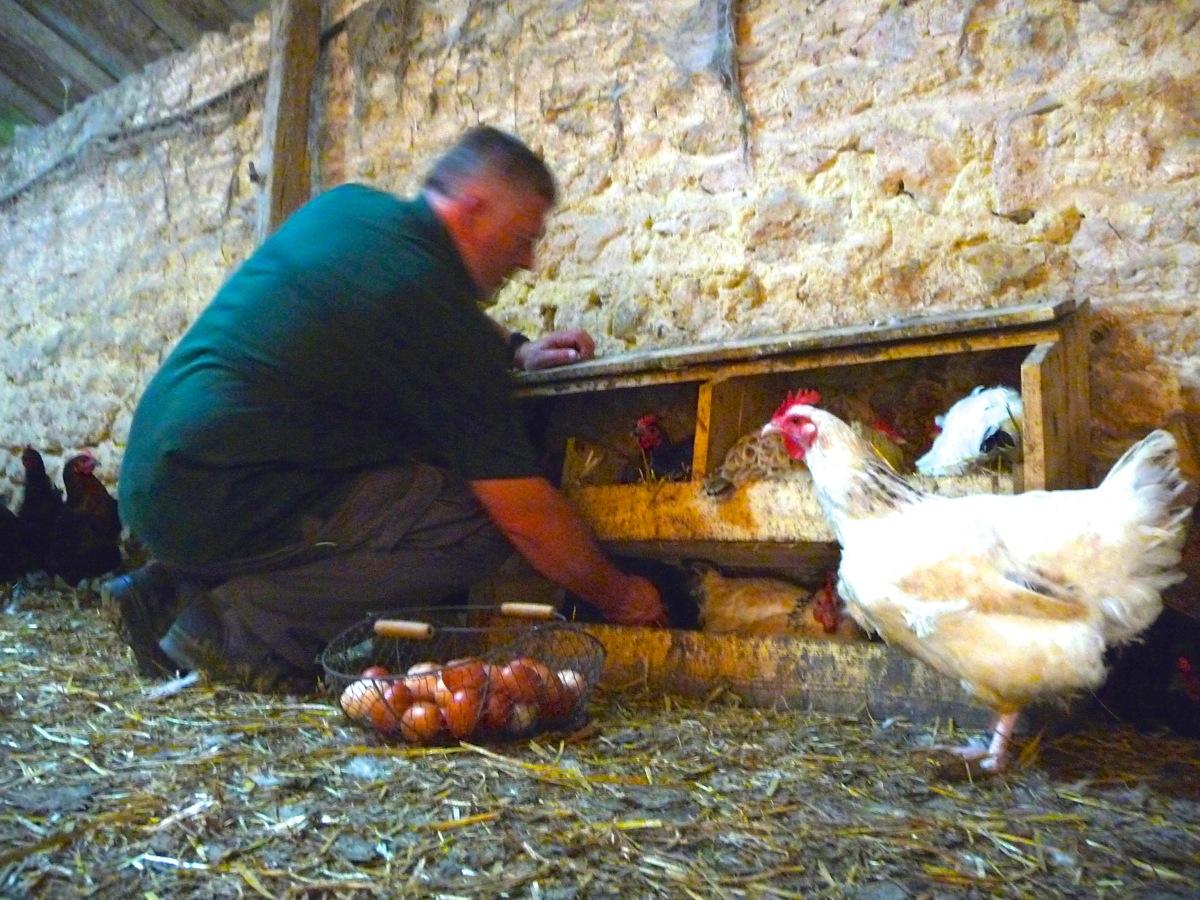 Nos poules pondeuses ferme de la fayaudrie for Oeuf de poule conservation