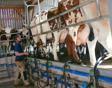 Pierre-Jean peut traire 5 vaches à la fois